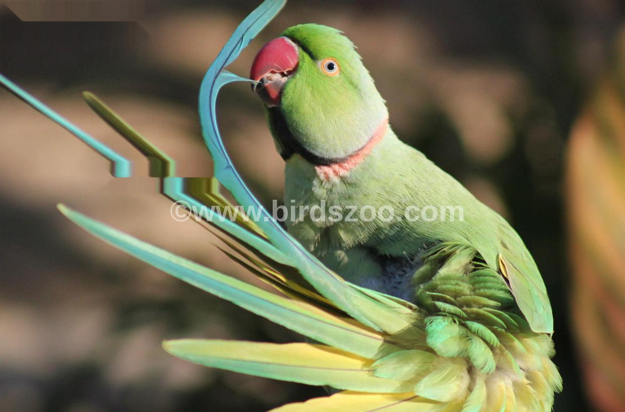 indian parrot bird information
