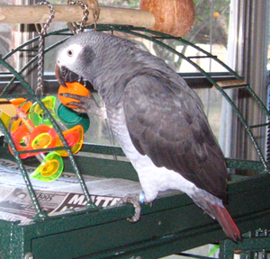 African Grey Timneh
