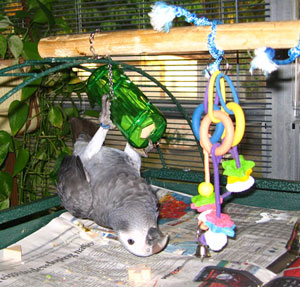 African Grey Toys