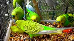 Plan to breed budgies maxresdefault forumfinder Gallery