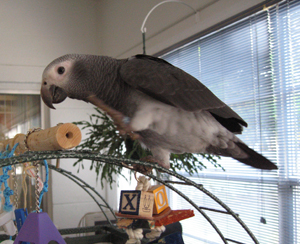 African Grey Healthy Signs
