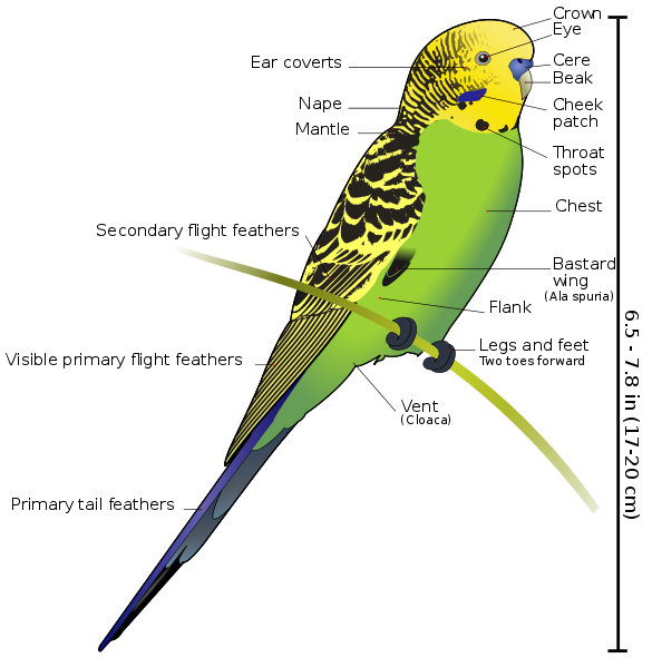 Budgerigar Diagram Labeled